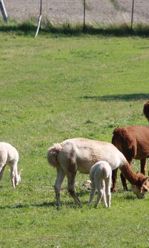 Alpaka Neuweltkamel aus Südamerika