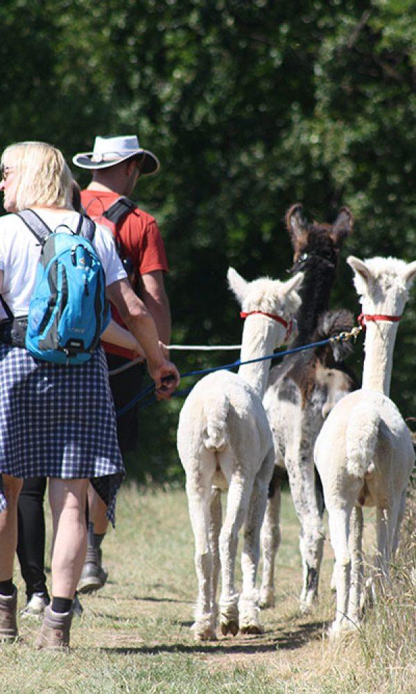 Wanderungen mit Lamas und Alpakas