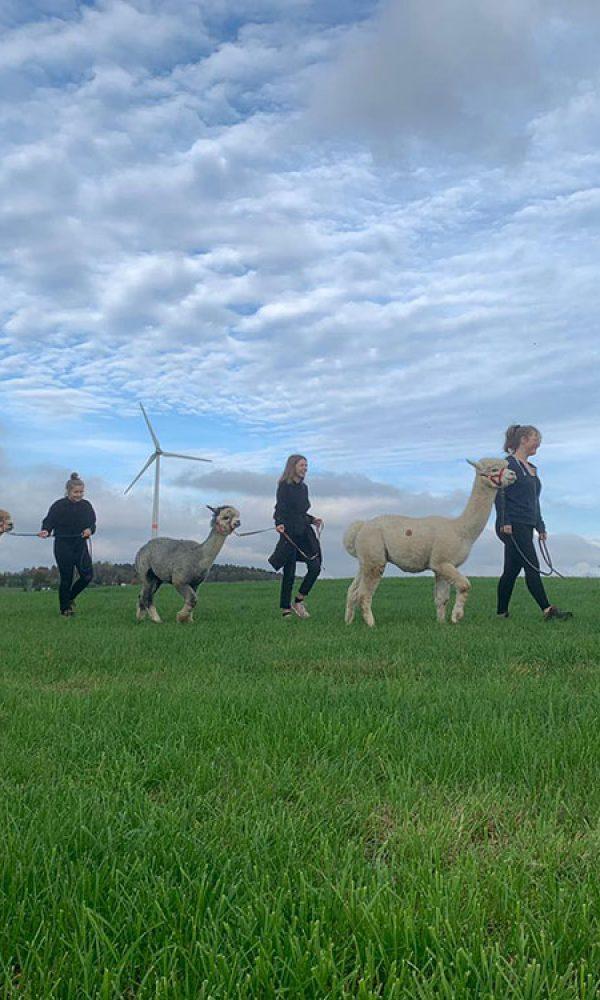 Lama & Alpaka Wanderungen